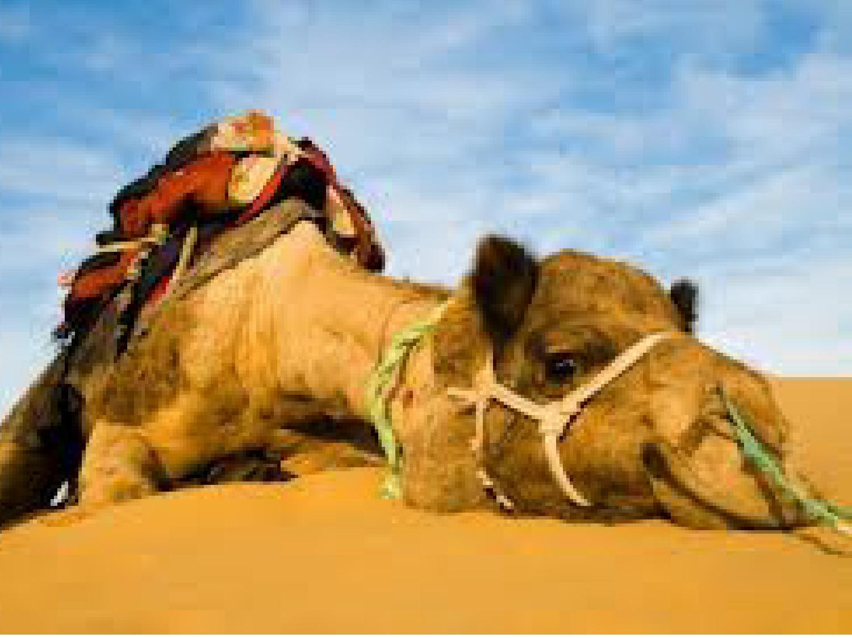 camel-1a